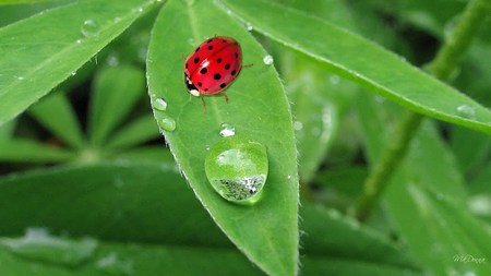 Dew in the Early Morning - leaves, ladybug, lady bug, green, dew drops, morning, spring, firefox persona