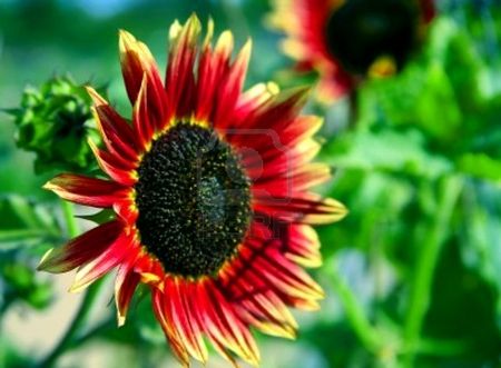 Red Sunflower Flowers Nature Background Wallpapers On Desktop Nexus Image 724894