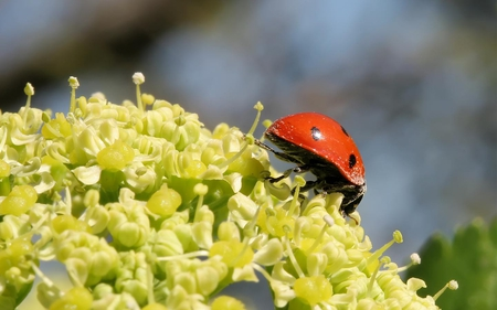 Just Looking - red, bug, ladybug, dots, flower, black, leaf