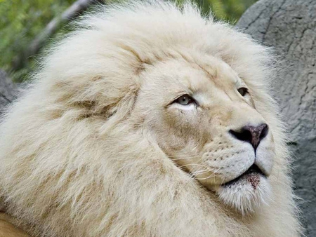 Majestic White Lion - animal, lion, cat, animals, cats, majestic, king
