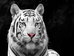 White Bengal Tiger come from India