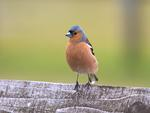 Chaffinch, there from Britain, Ireland and Sweden