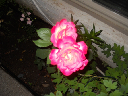 transforming rose i the night - pretty, green, rose, beautiful, pink, night