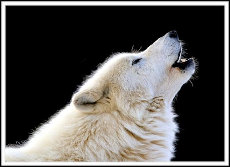Arctic wolf - lobo, dusk, sunset, wild dogs, artic, snow, lone, landscapes, nature, silliouete, wolf, wolves, howling, animals, black wolf
