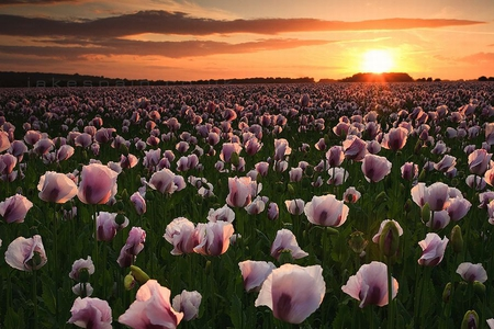 Flowers in Field - flowers, fields, beautiful, sunset, picture