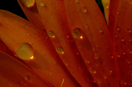 Gerber Drops - gerber, droplets, flower, nature, drops