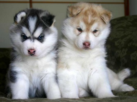Siberian Husky Puppies Dogs Animals Background Wallpapers On