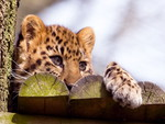 Amur Leopard Kitty