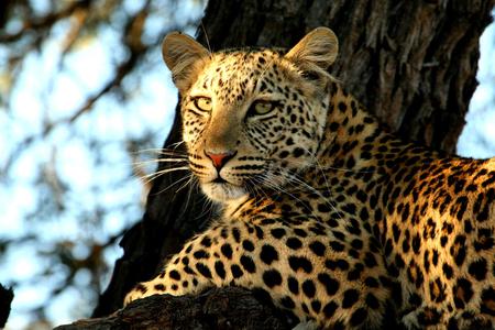 leopard - leopard, africa, tree, nature, wild