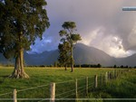 Storm Lit Kahikatea Trees and Fence, South Island, New Zealand