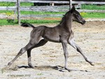black filly prancing to its mommy