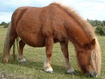 a beautiful shetland pony