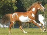 amarican paint horse