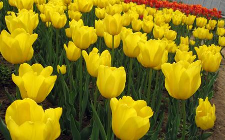 Yellow tulips - flowers, pretty, tulip, yellow