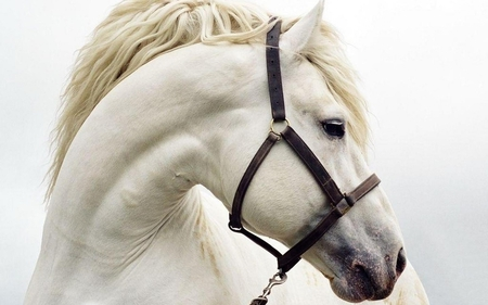 True White Horse is the kind and name of this Horse - nose, white, breed, eyes, beautiful, truewhite, animals, raines, horse