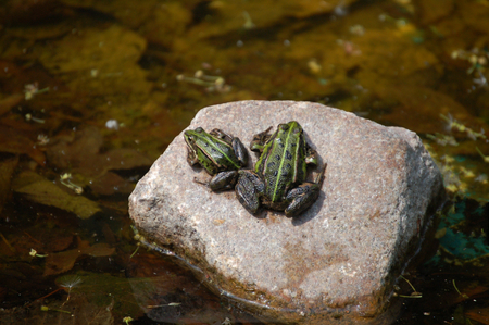Frogs on a rock - frog, frogs, amphibian, water