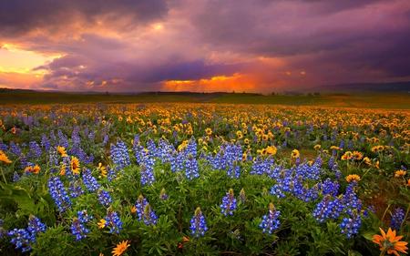 EVENING GLORY - flowers, sunset, blue, clouds, field, dark, sunflowers
