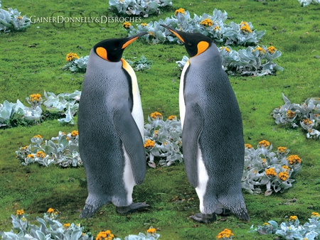 king_penguins_falkland_island - bird, penquins, flowers, couple, animal