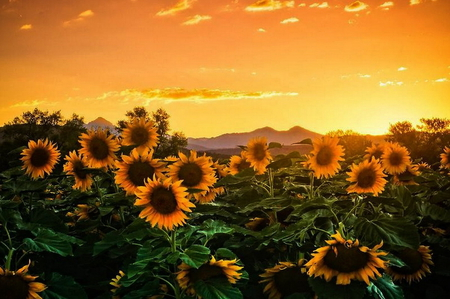 Beautiful sunflowers flowers nature background - Nature background pictures for computer ...