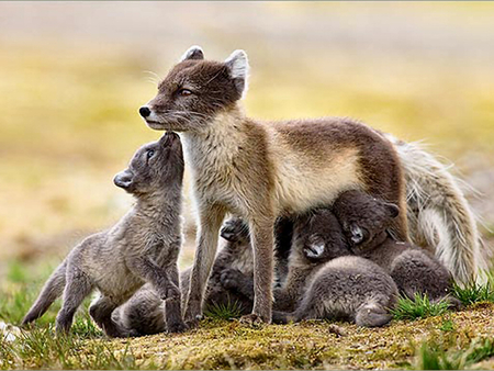 Artic Fox And Young 1 Foxes And Baby Foxes Wallpapers