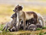 Artic Fox and Young 1