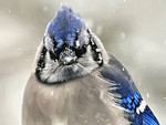 Winter Blue Jay 1