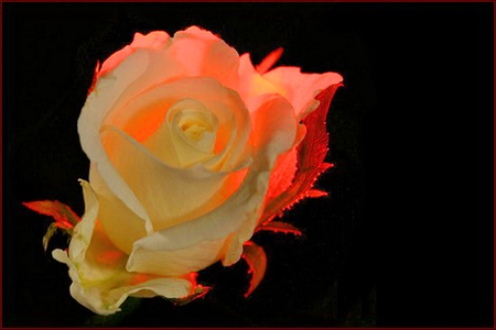 Red glow - rose, red light, glow, white, flower, black background