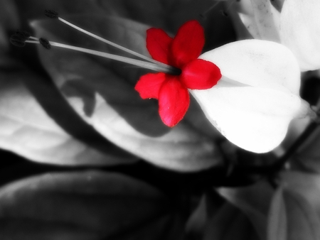 LittleRed - negative, flower, red, nature