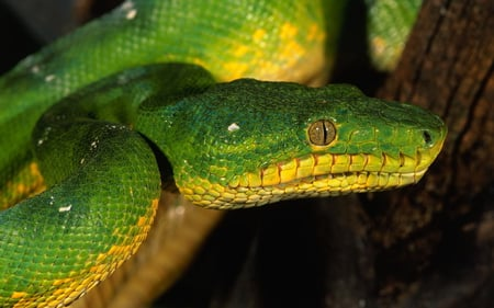 Snake - beautiful, reptiles, animals, snake