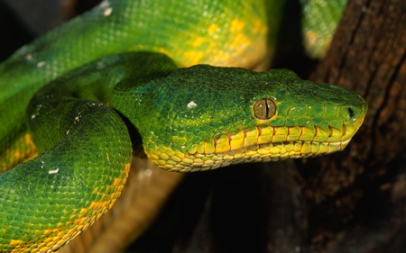 Snake - beautiful, snake, animals, reptiles