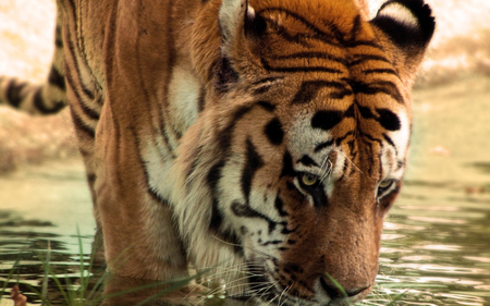 Tiger - bombata, animals, cat, tiger