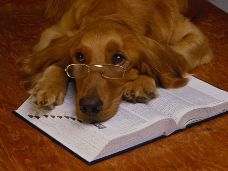 reading dog dogs animals background wallpapers on desktop nexus