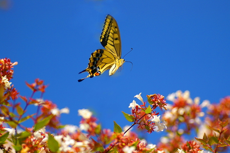 In flight - butterfly, black and yellow, swallowtail, flight, flowers