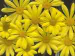 Beautiful Yellow Daisies