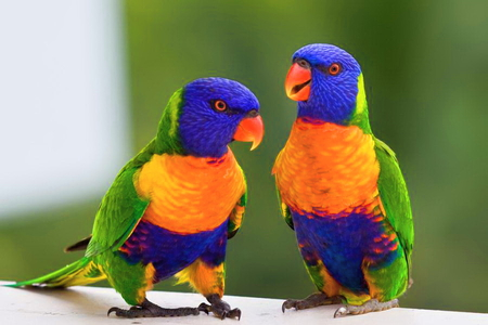 Lorikeets - orange, yellow, colorful, blue, green, birds, pair, purple