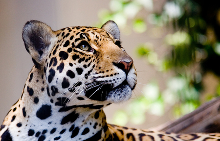 Leopard - other, leopard, animals, face