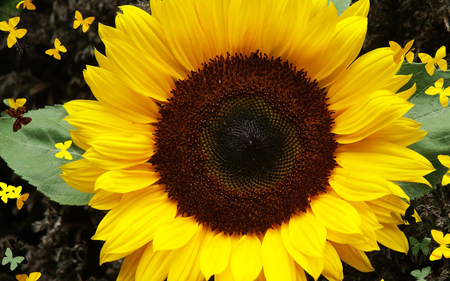 Bold Sunflower - sunflower, seeds, petals, large, nature, leaves, flower, yellow