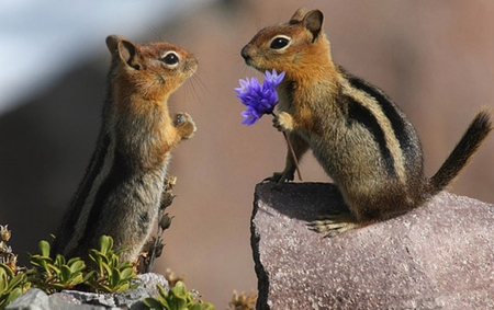 Chipmunk's Love - chipmunk, friendship, squirrels, love, animal