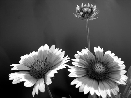 black and white - black and white, sunflower, beatiful, old