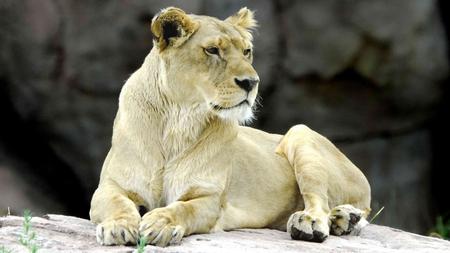 White lion - animal, wildlife, africa, lion