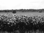 the old sunflower field