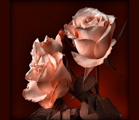 For Fran - (Fariz) - flowers, white, pink, roses, black background
