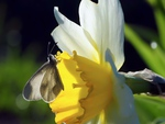 Beautiful daffodil