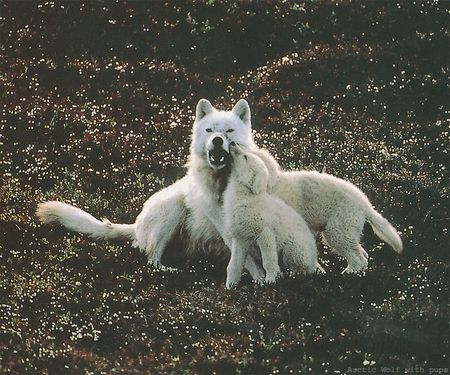 Arctic Wolves with Pups - artic, wolves, dog, canine, pups