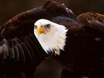 BALD EAGLE's WINGSPAN