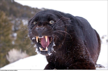 Angry Panther - animal...