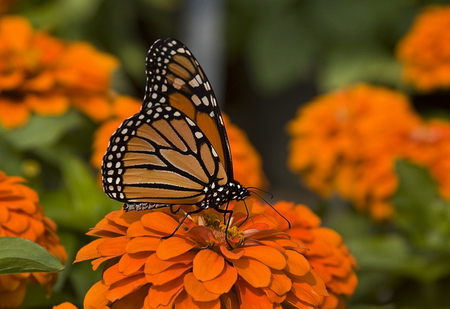Butterfly over a flower - butterfly, orange, plant, flower, over
