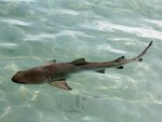 Juvenile Lemon Shark