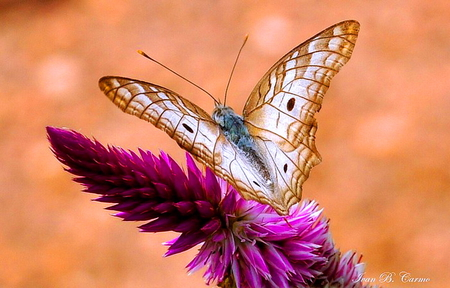 Winged beauty - spotted, wings, butterfly, purple, flower, white and brown