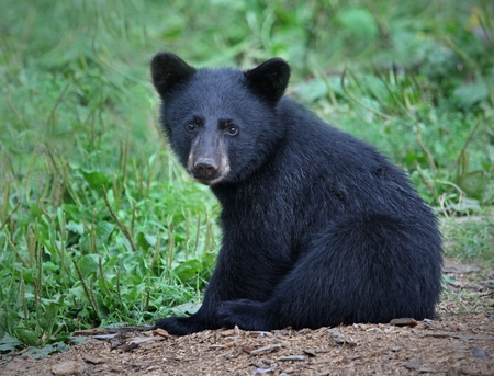5bcdb11cc58 BABY BLACK BEAR - Bears   Animals Background Wallpapers on Desktop ...